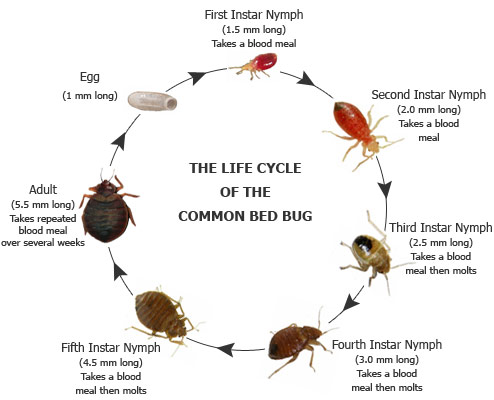 how to detect bed bugs